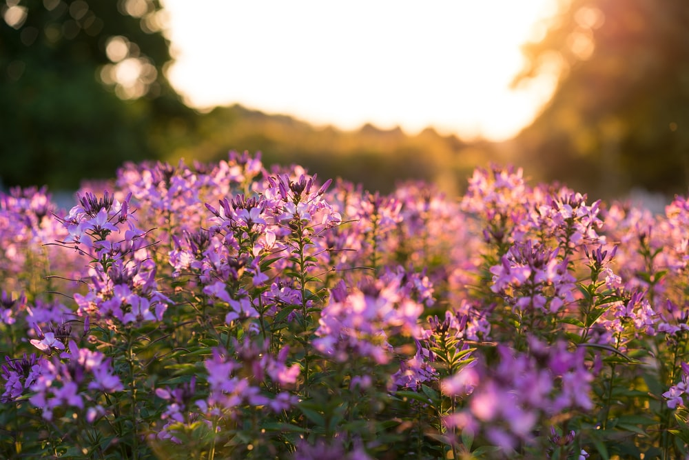 purple petaled flowers selective focus photography