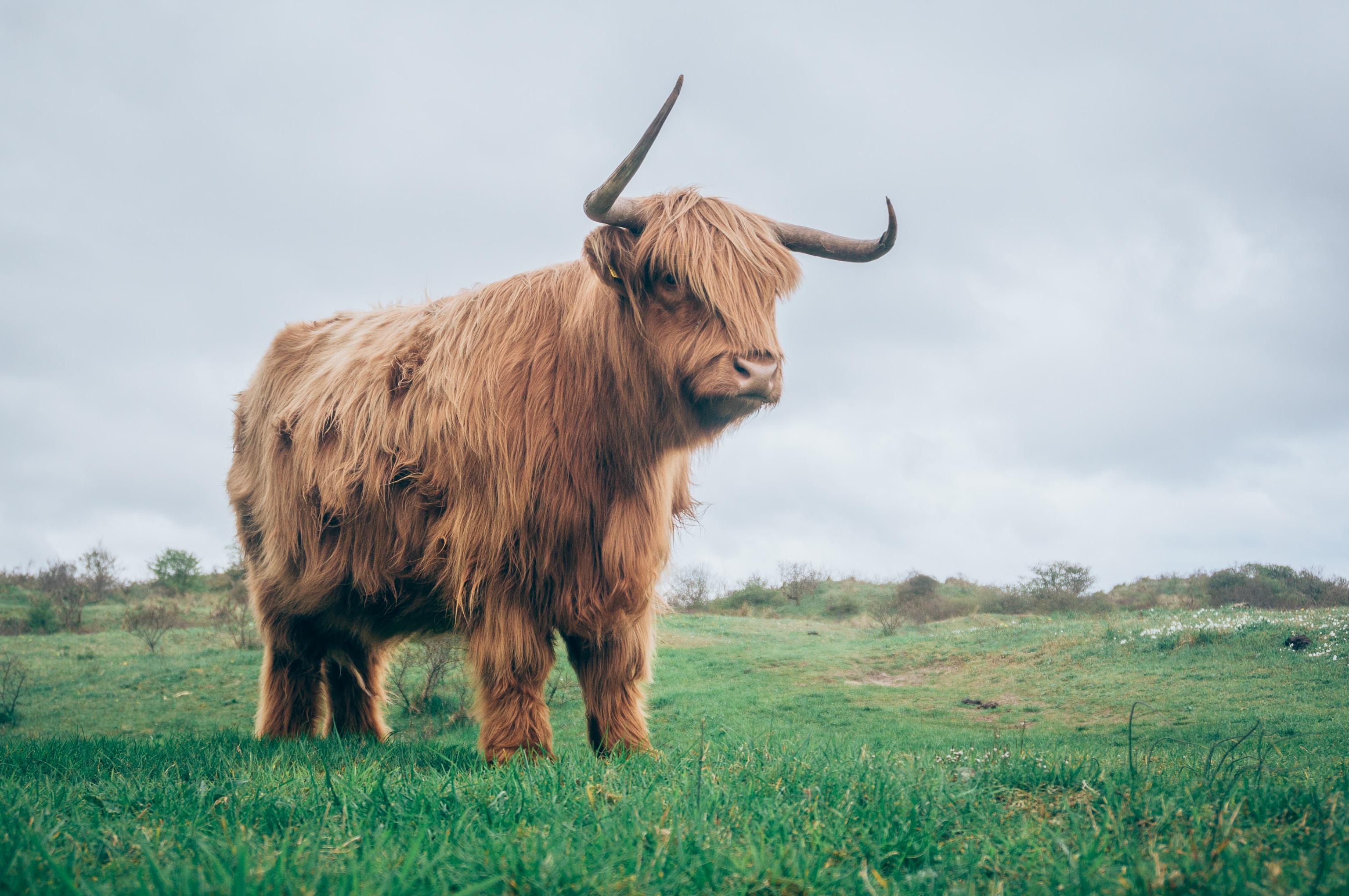 brown yak on green grass