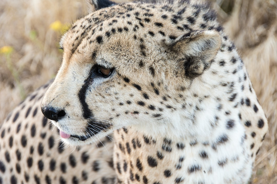 Cheetah in close-up