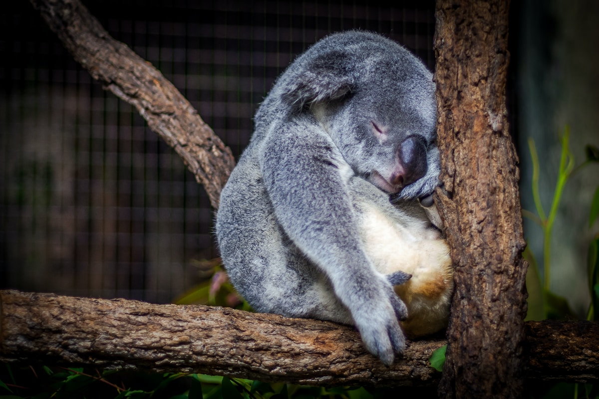 A Koala Bear sleeping sitting up on a branch with its head against a tree trunk.