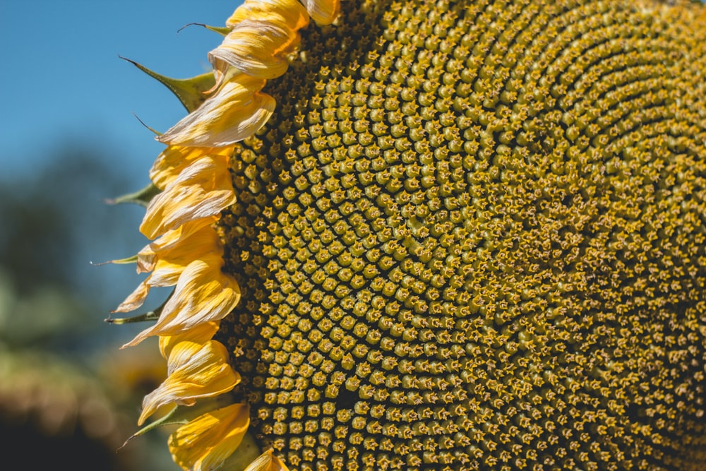 close shot of sunflower