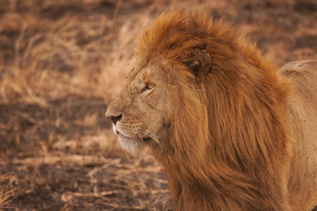 Long-maned lion