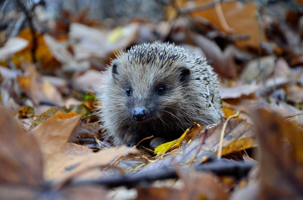 selective focus photography of hedgehog on ground