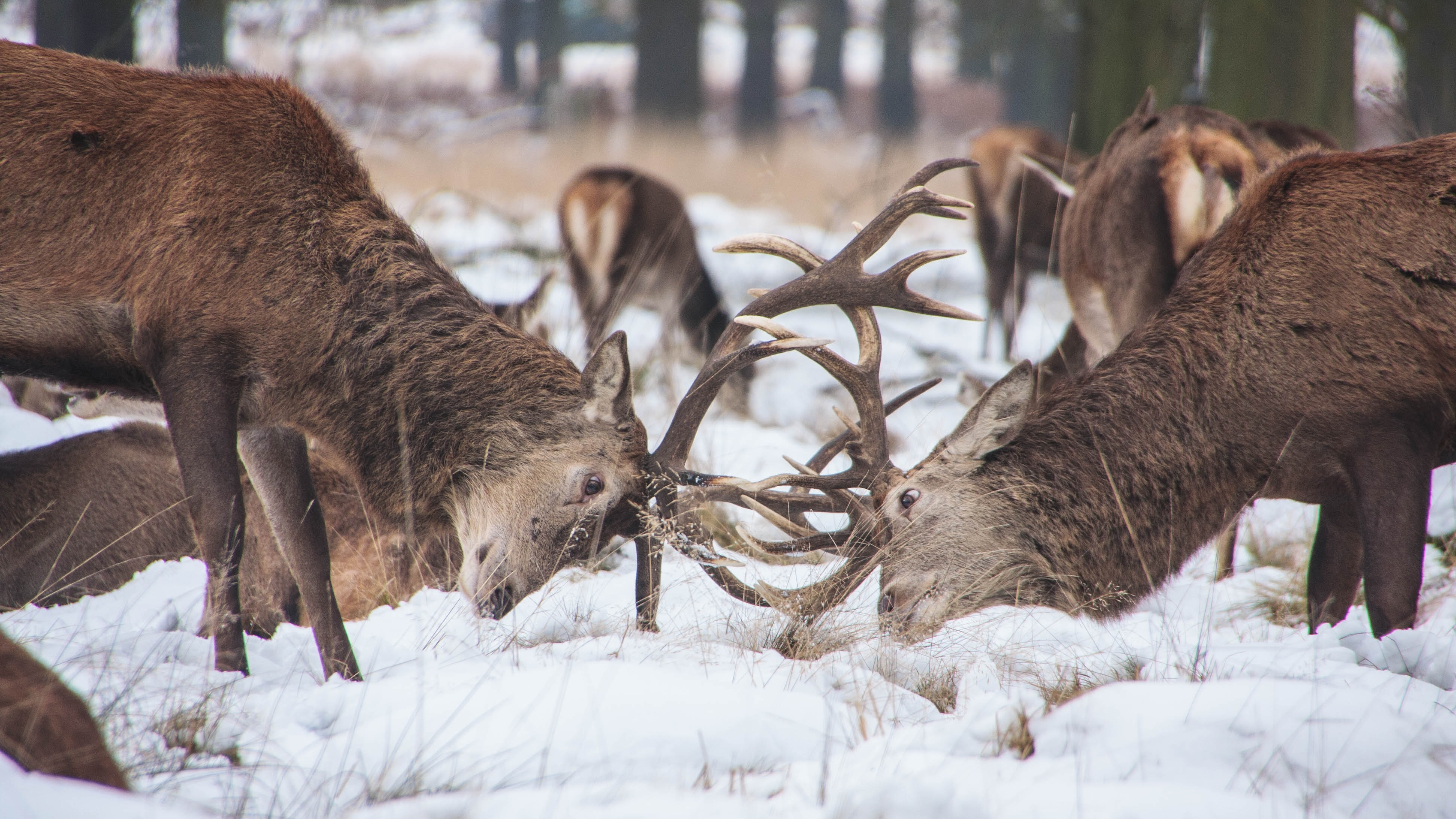 Two stags interlocking horns on a snow-covered patch of grass