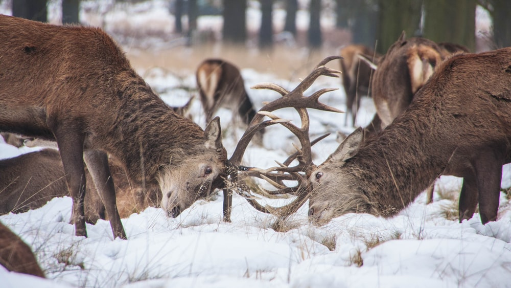two deer fighting at middle of forest