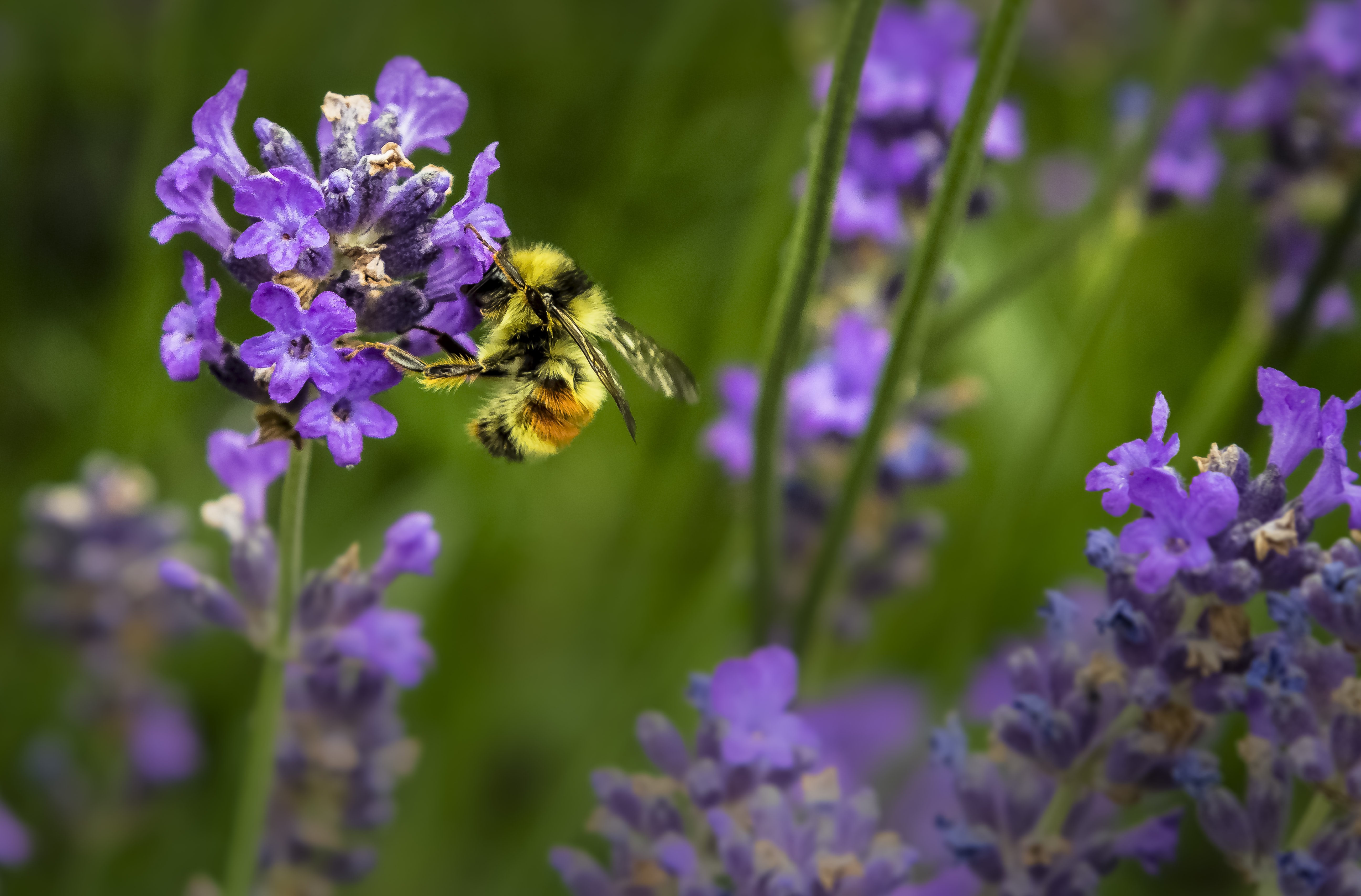 A bee collecting pollen in a cluster of lavender