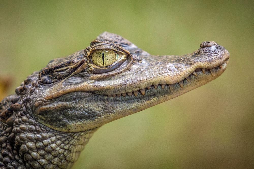 selective focus photography of crocodile