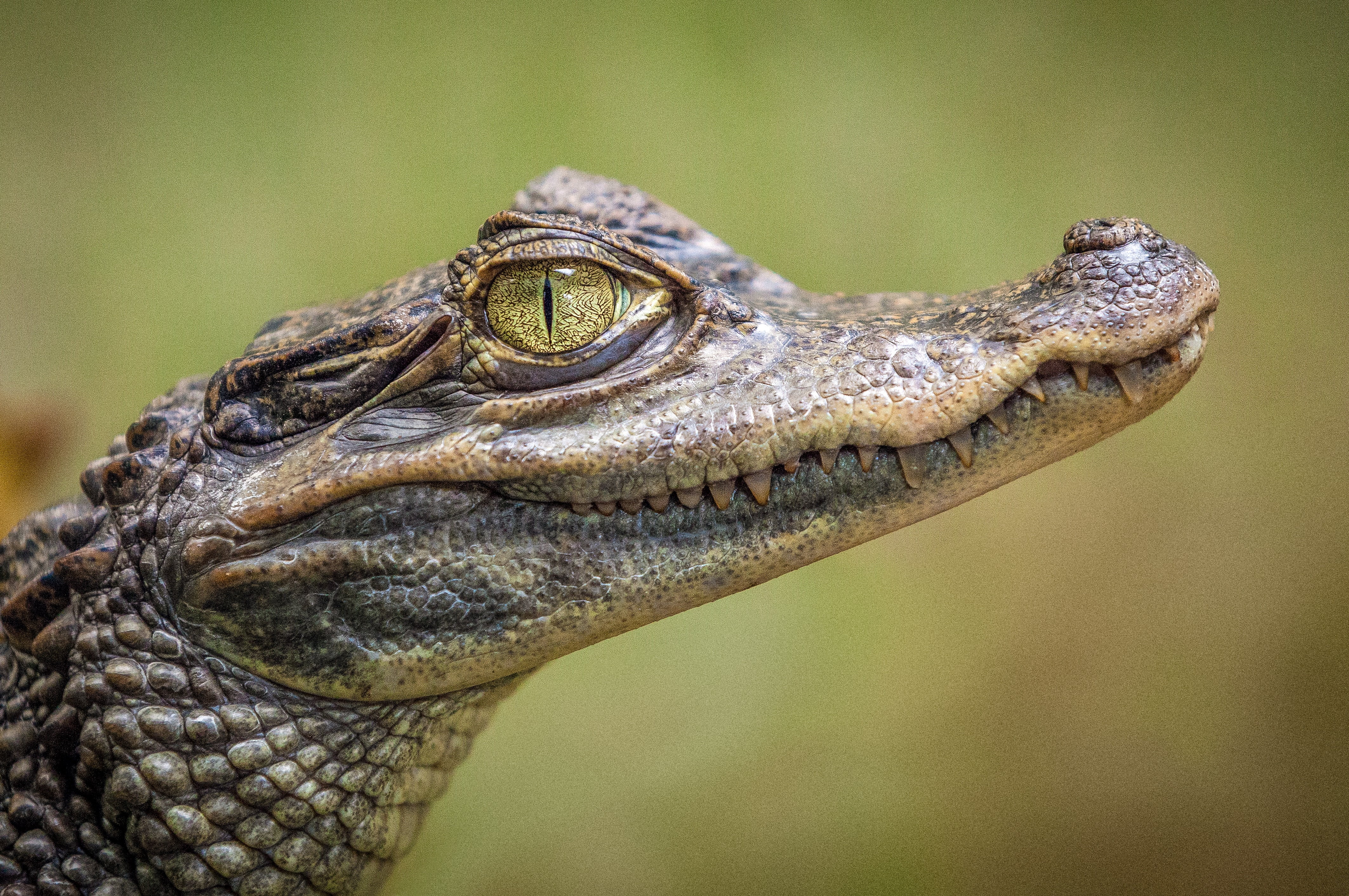 selective focus photography of crocodile