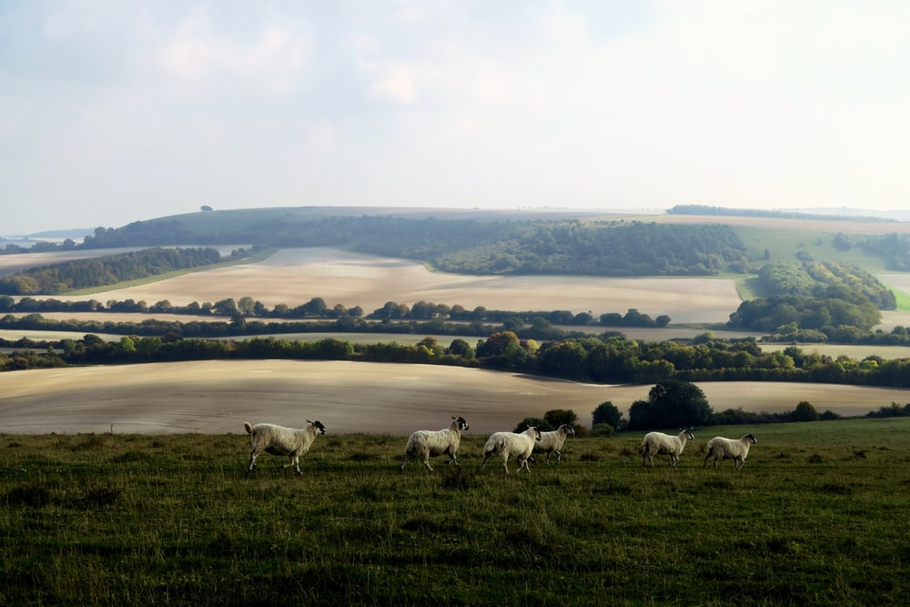 six white lambs on green grass field