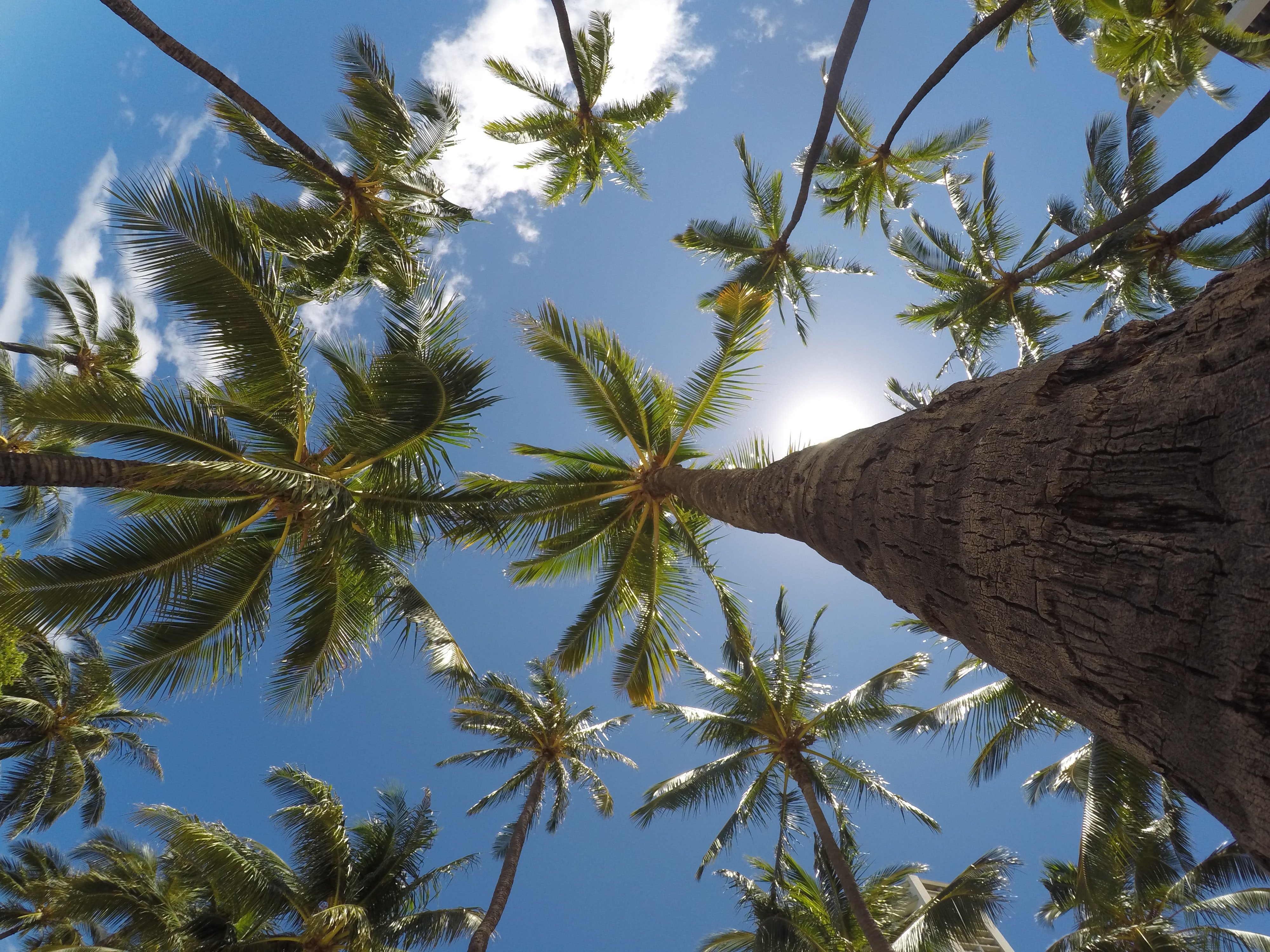 Looking up at a field of palm trees with the sun behind them in O'ahu