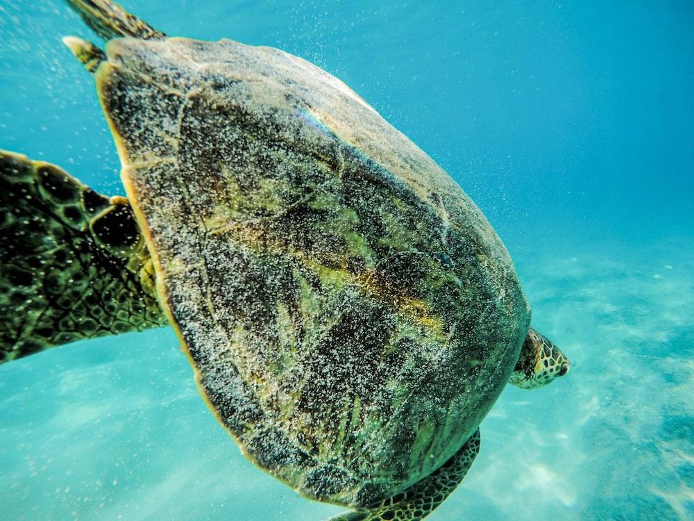 green sea turtle in water