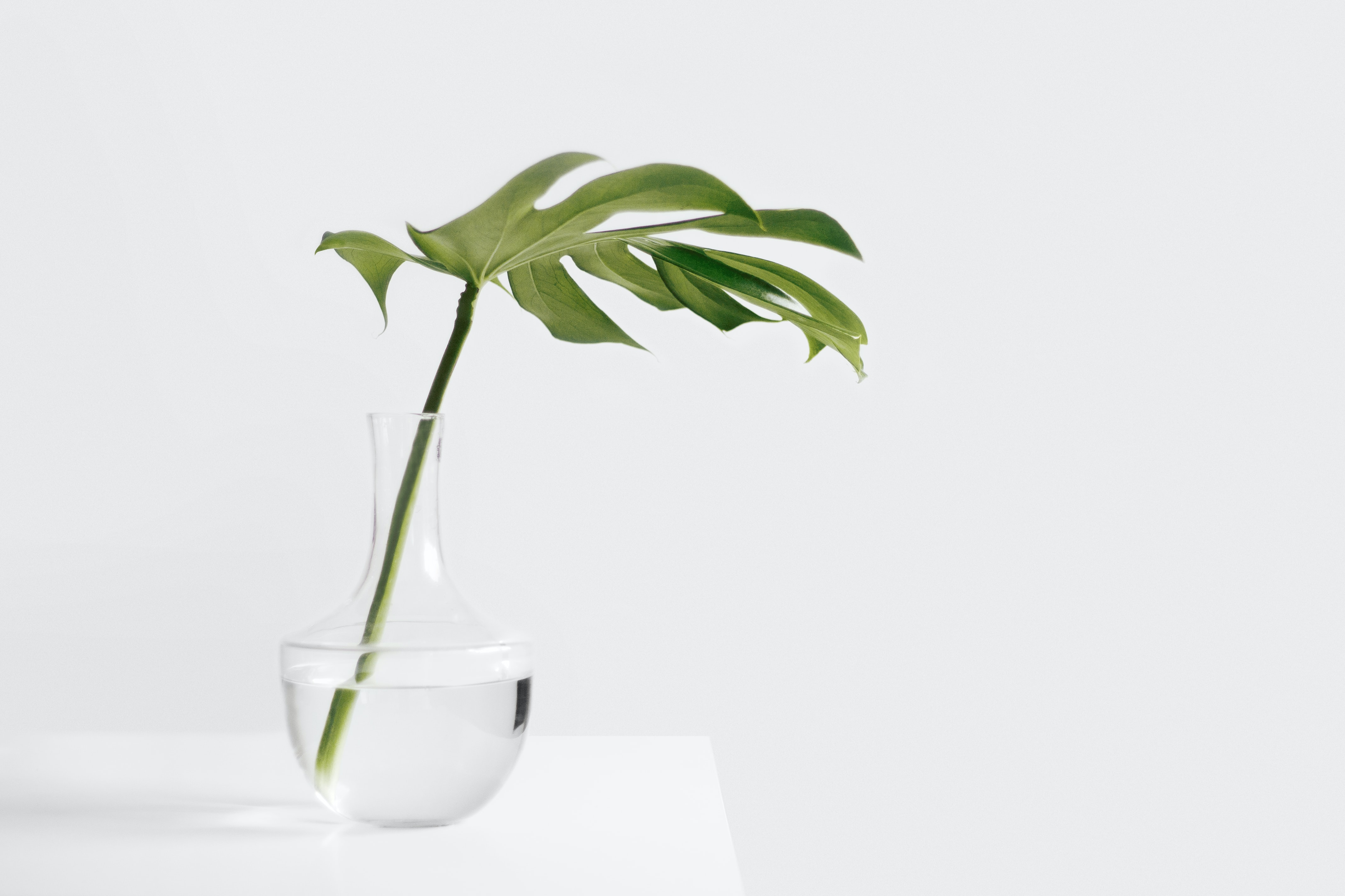 Cheese plant leaf in clear glass vase