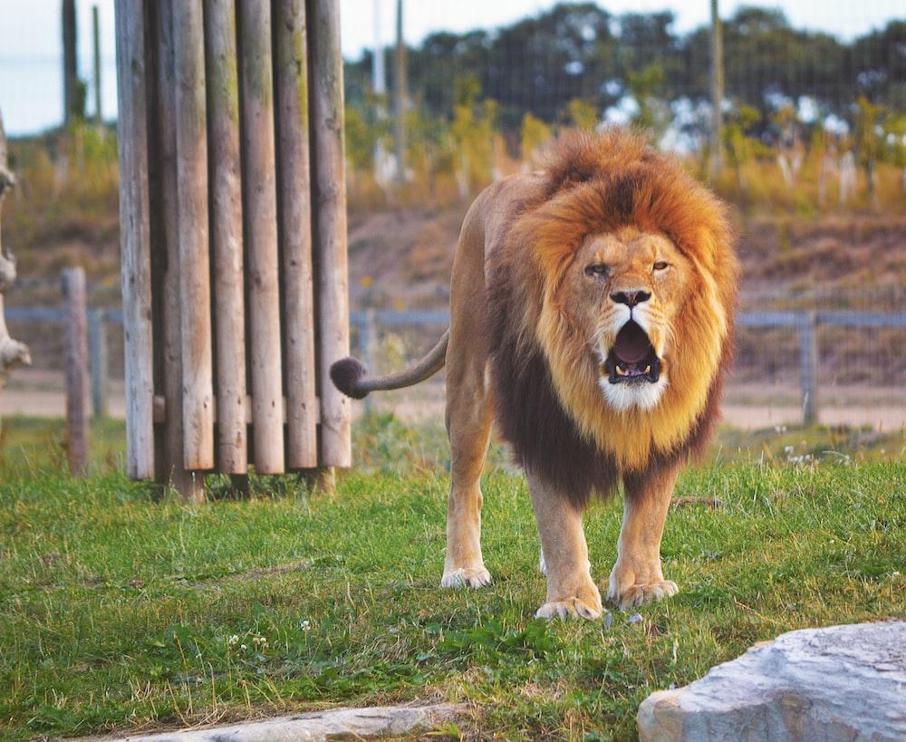 lion standing on grass field