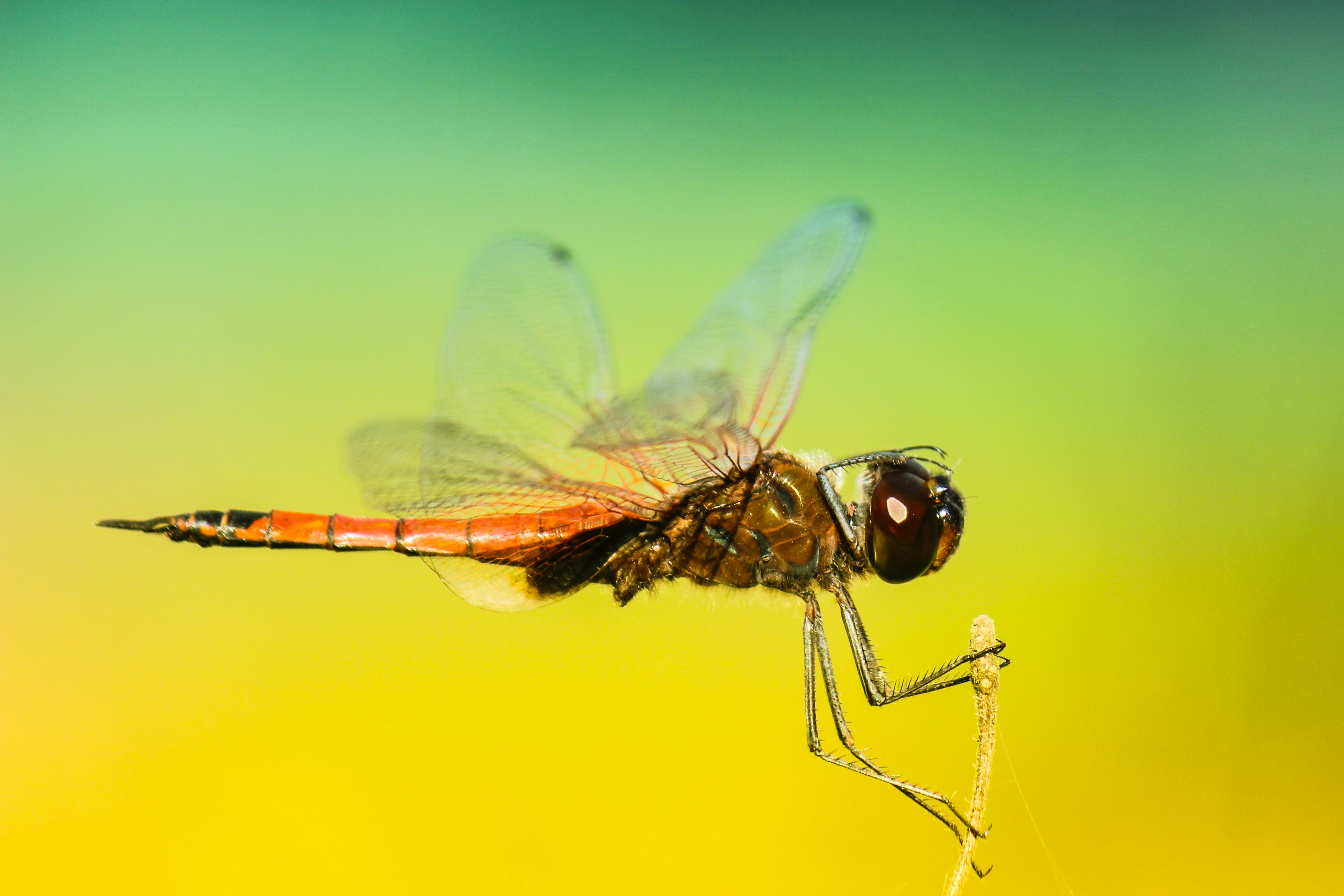 Macro of an orange dragonfly with wings spread landing and holding onto a stem