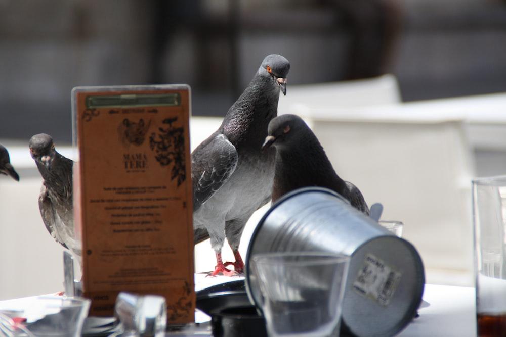 Pigeon | HD photo by Luis Núñez (@lanc) on Unsplash