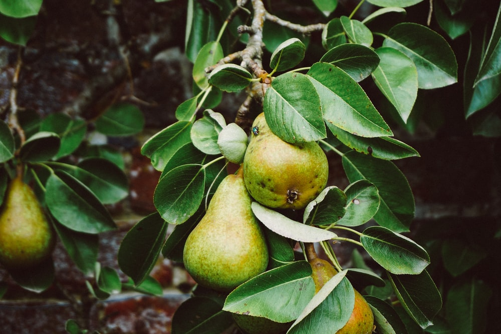 pear tree with fruits