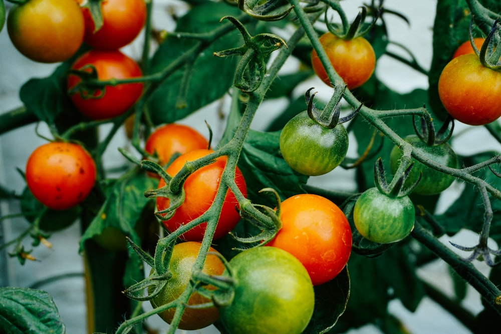 tomatoes hanging on tomato plant