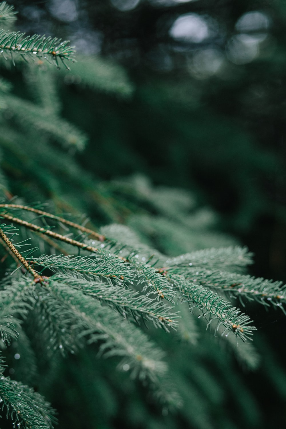 A blurred macro shot of branches on a pine tree.