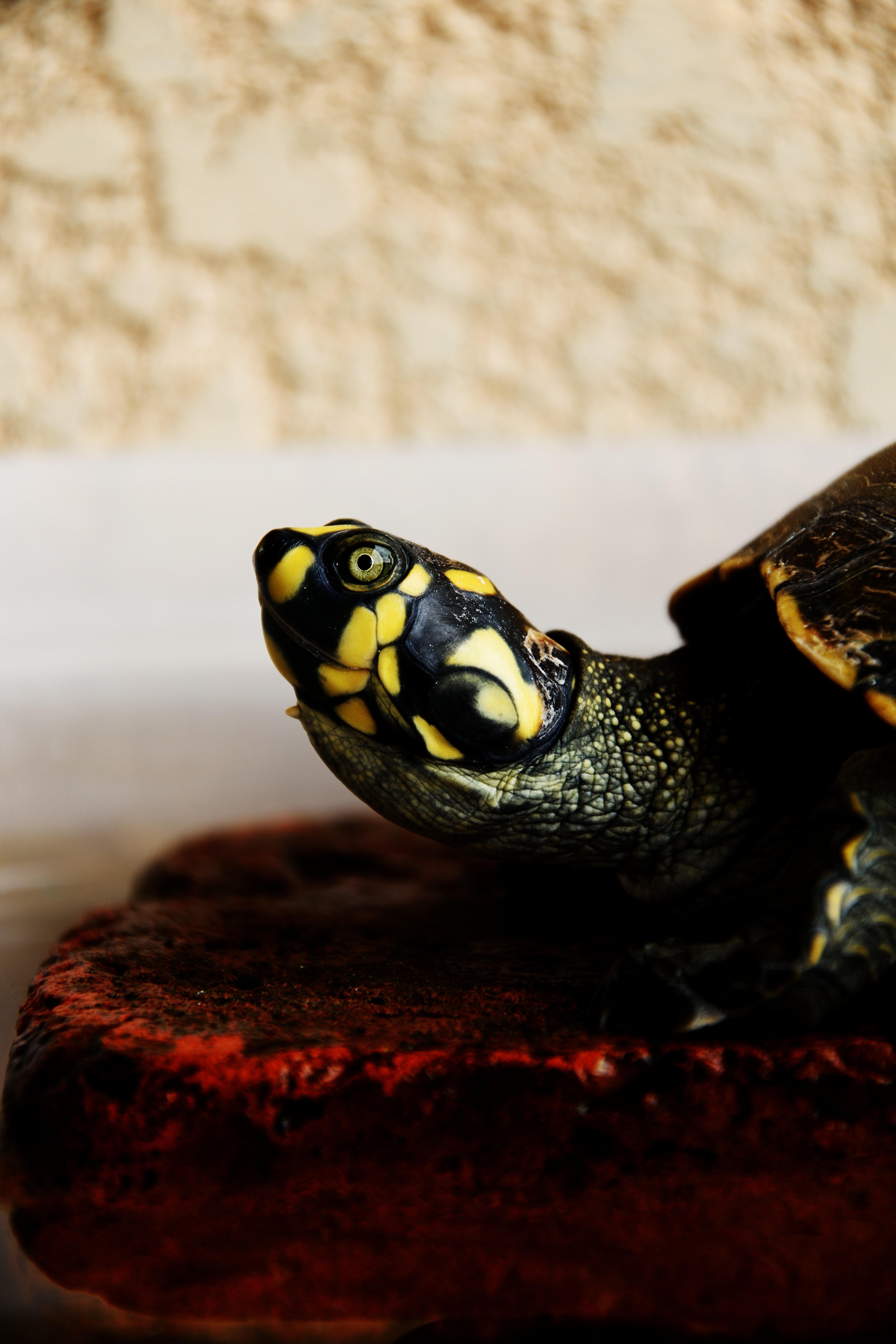 A yellow spotted turtle's profile