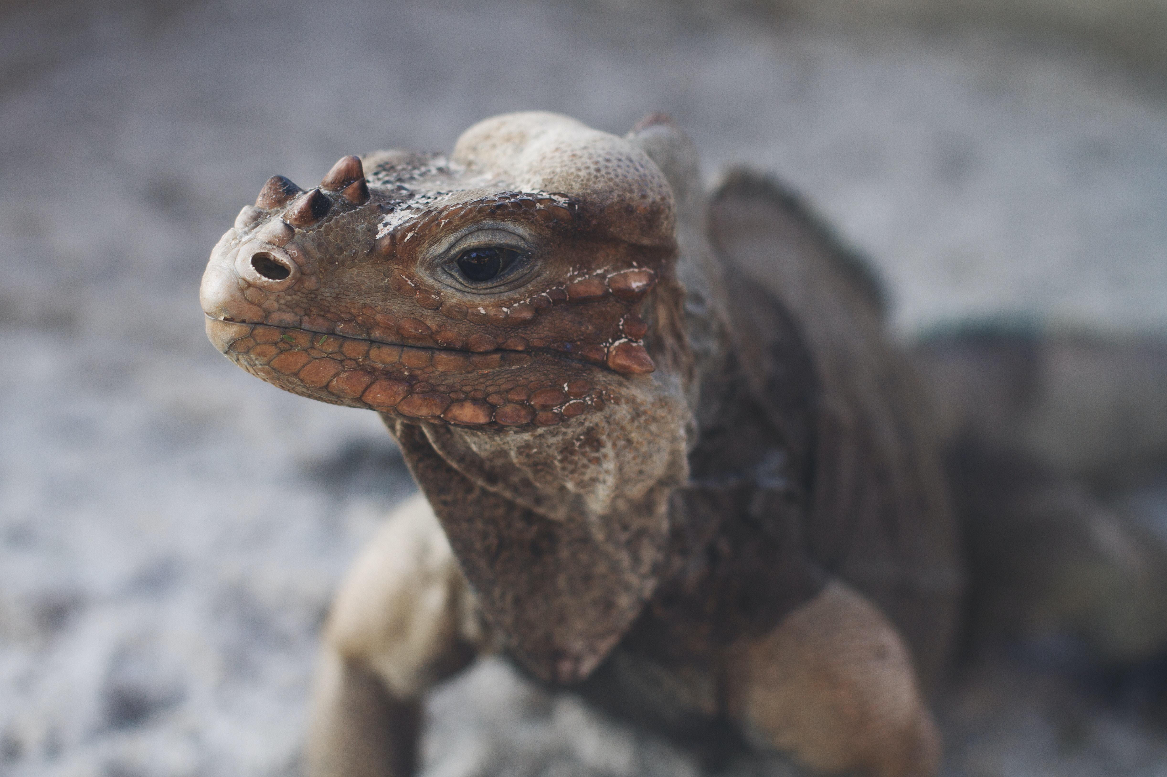 tilt shift lens photography of commodo dragon