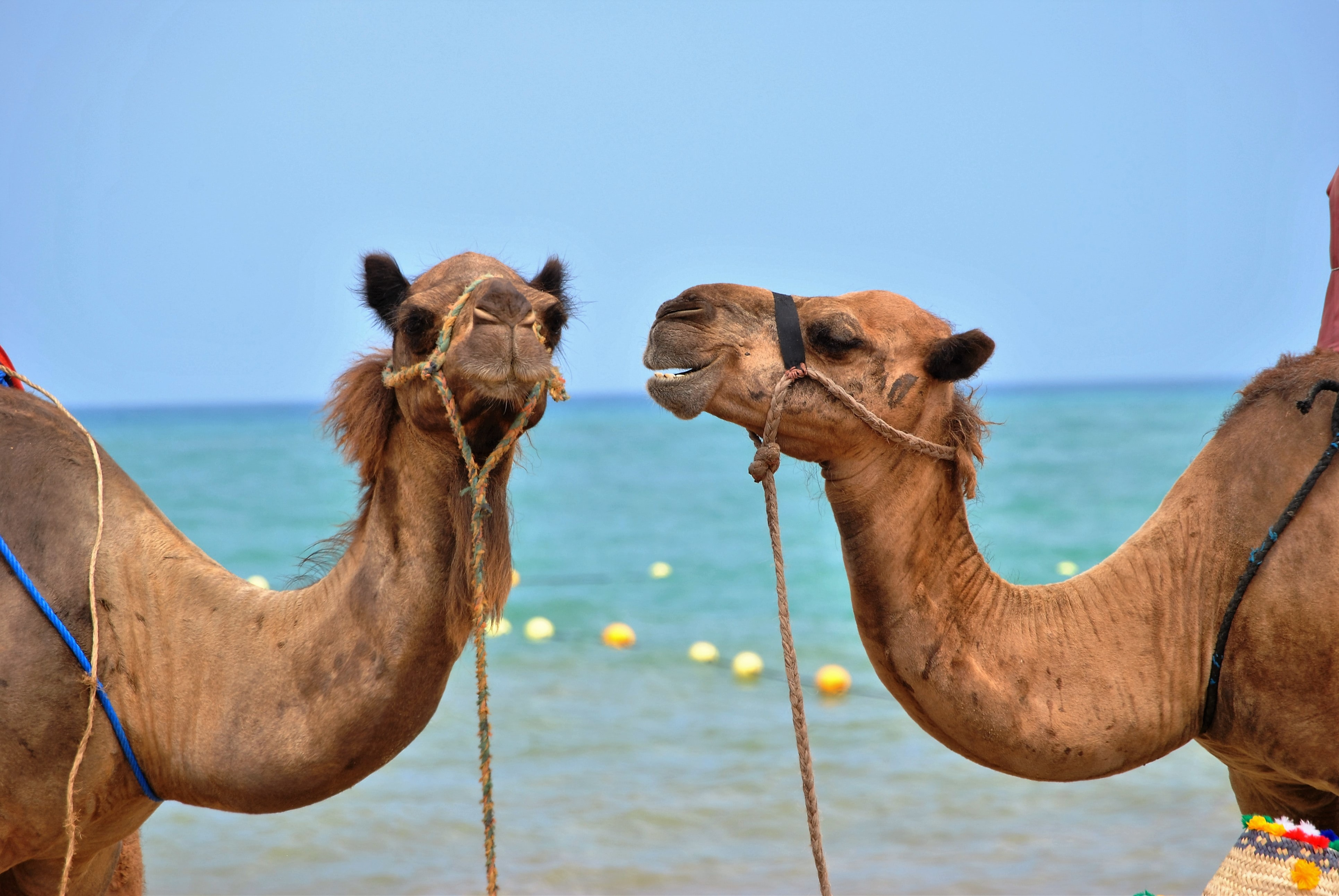 close up photo of two brown camels in front body of water
