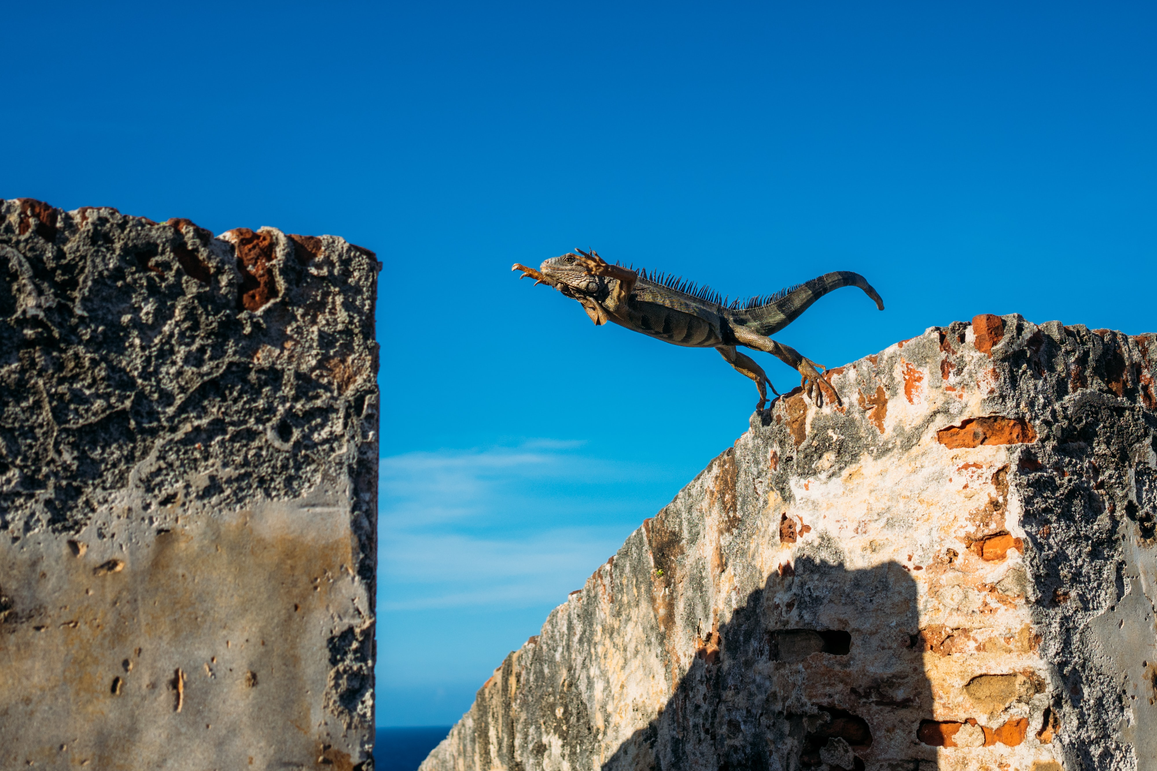 iguana about to jump on concrete wall