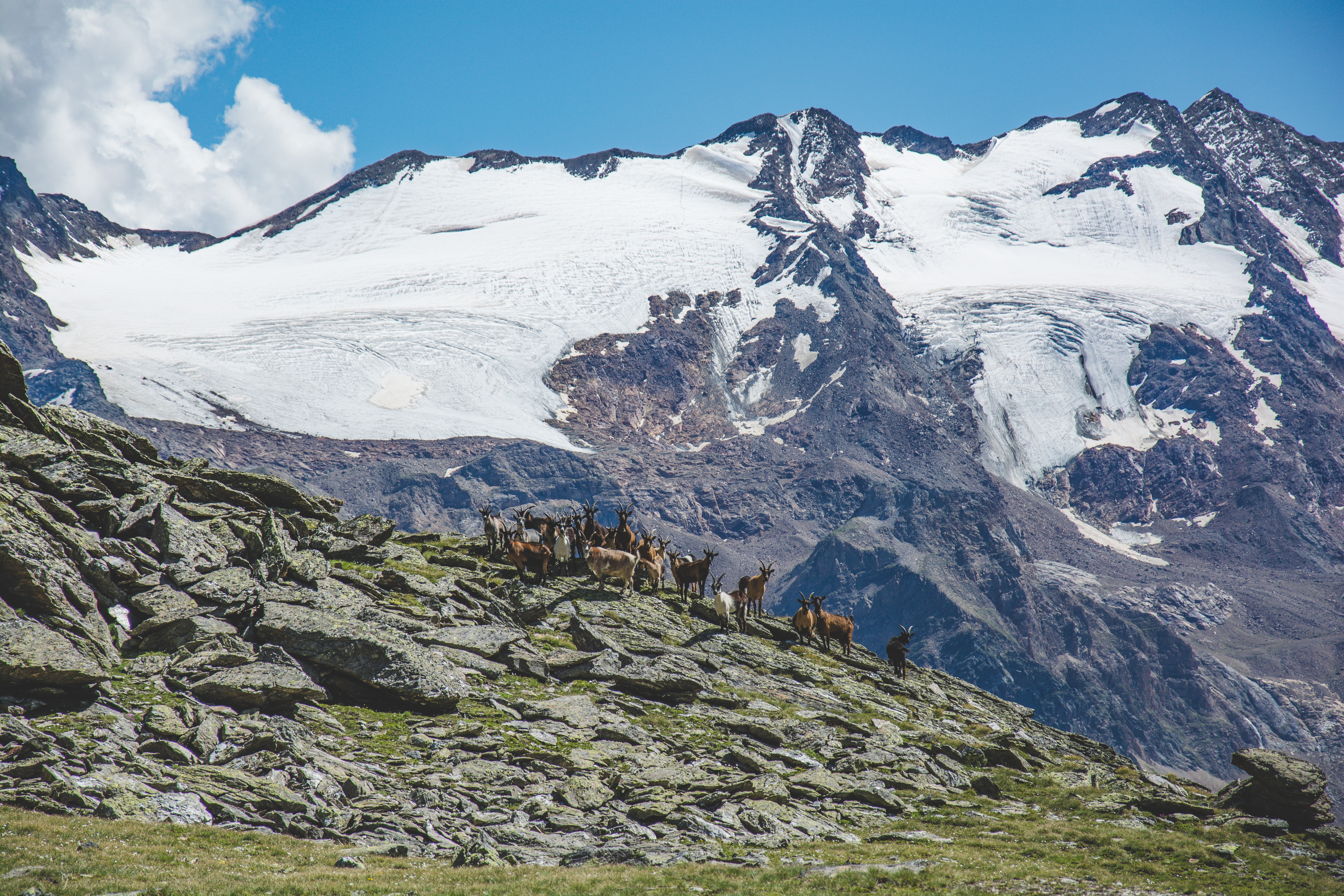 A group of mountain goats standing on a rocky hill under a snowy mountain peak in a bright sunny day