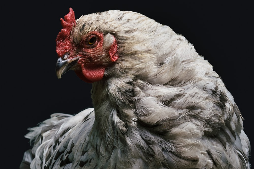 gray and red rooster