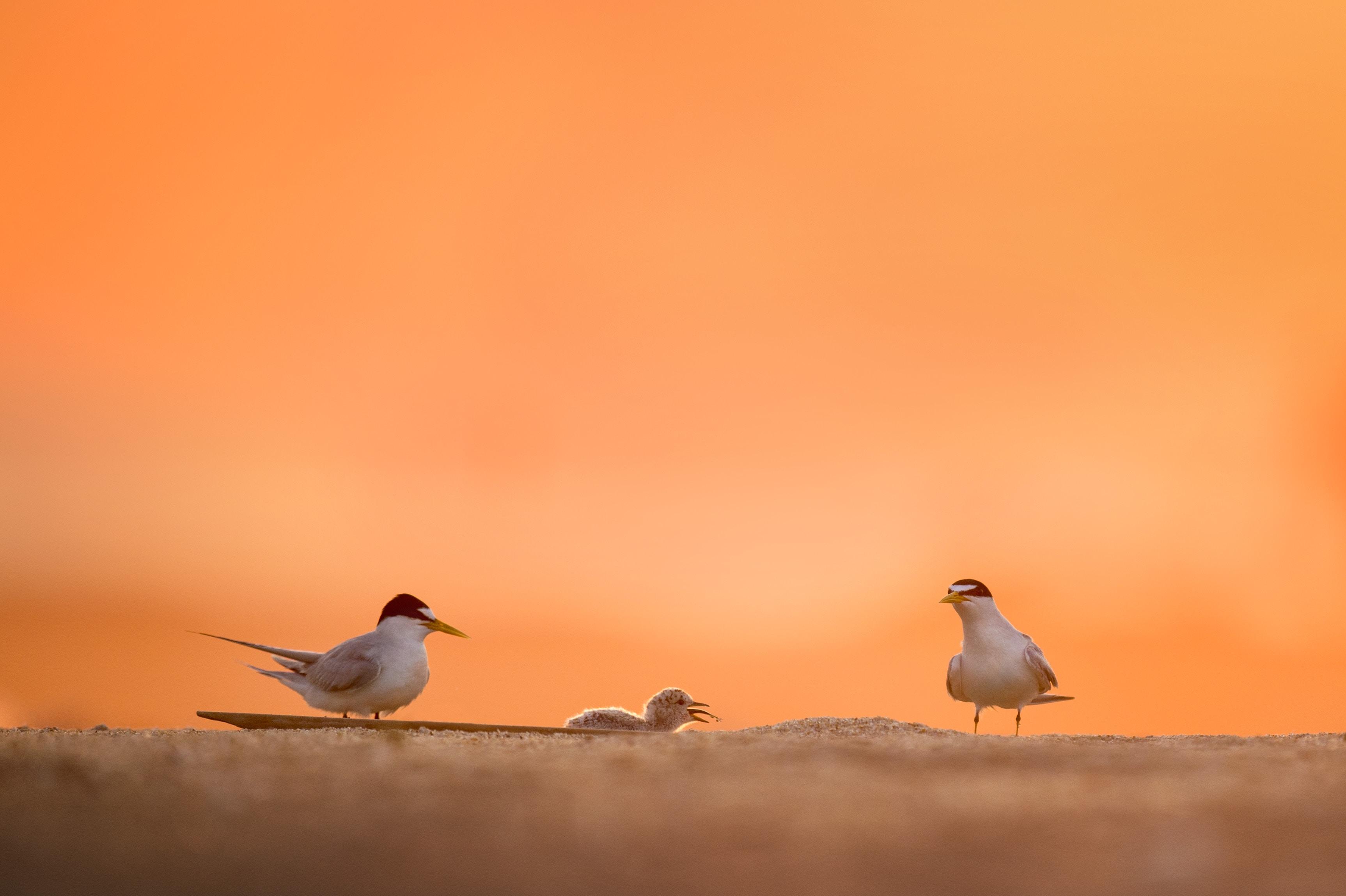 Two birds feeding a baby bird on sand beach during sunrise at Belmar
