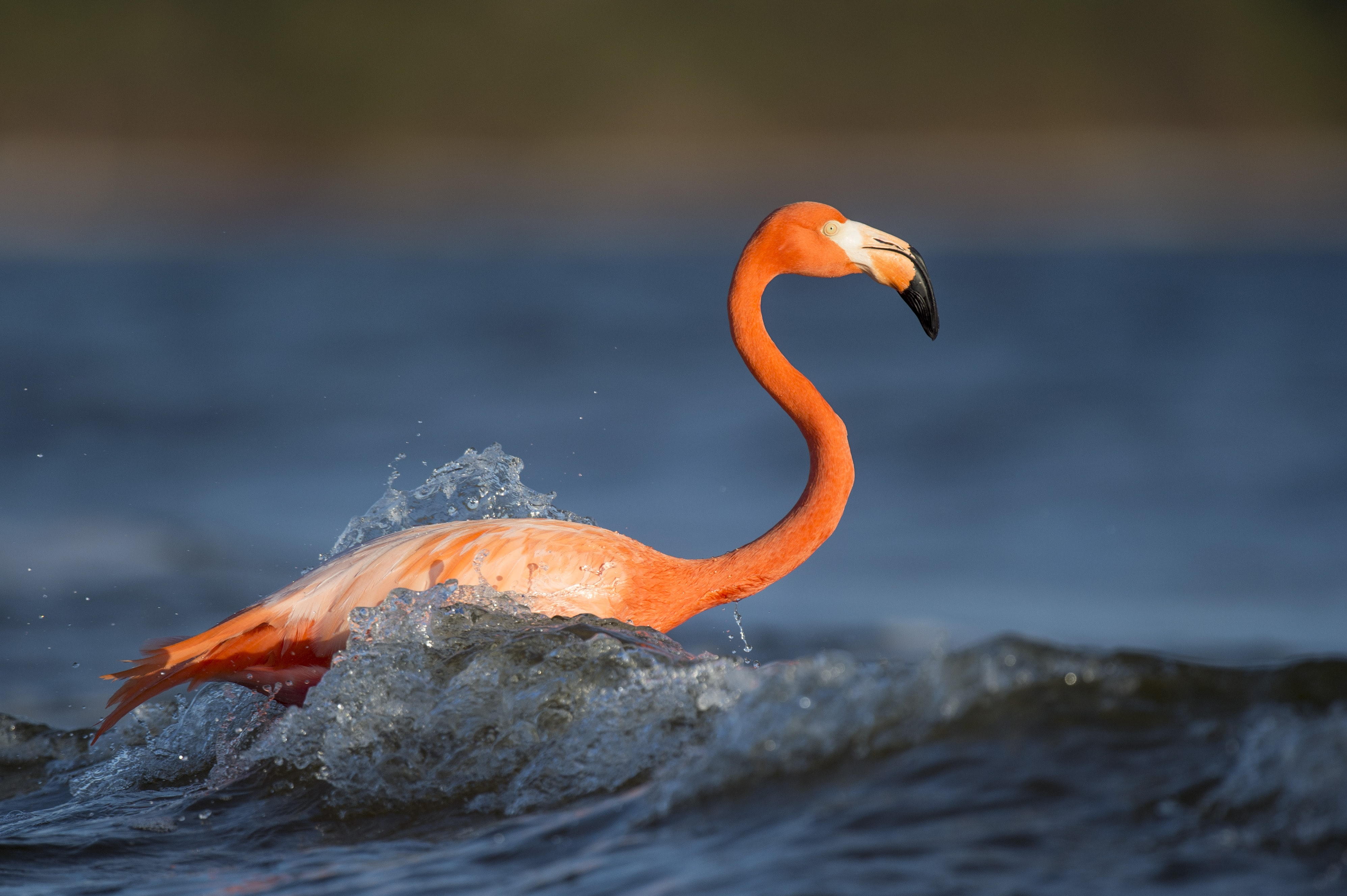 Pink flamingo swims alone in the ocean waves