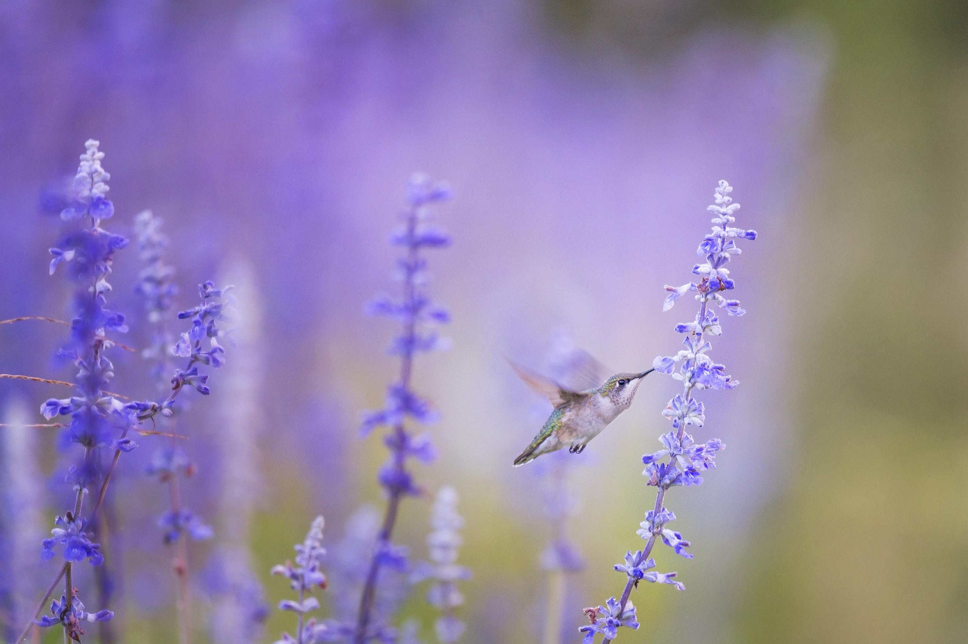 A hummingbird feeding on lavender flowers