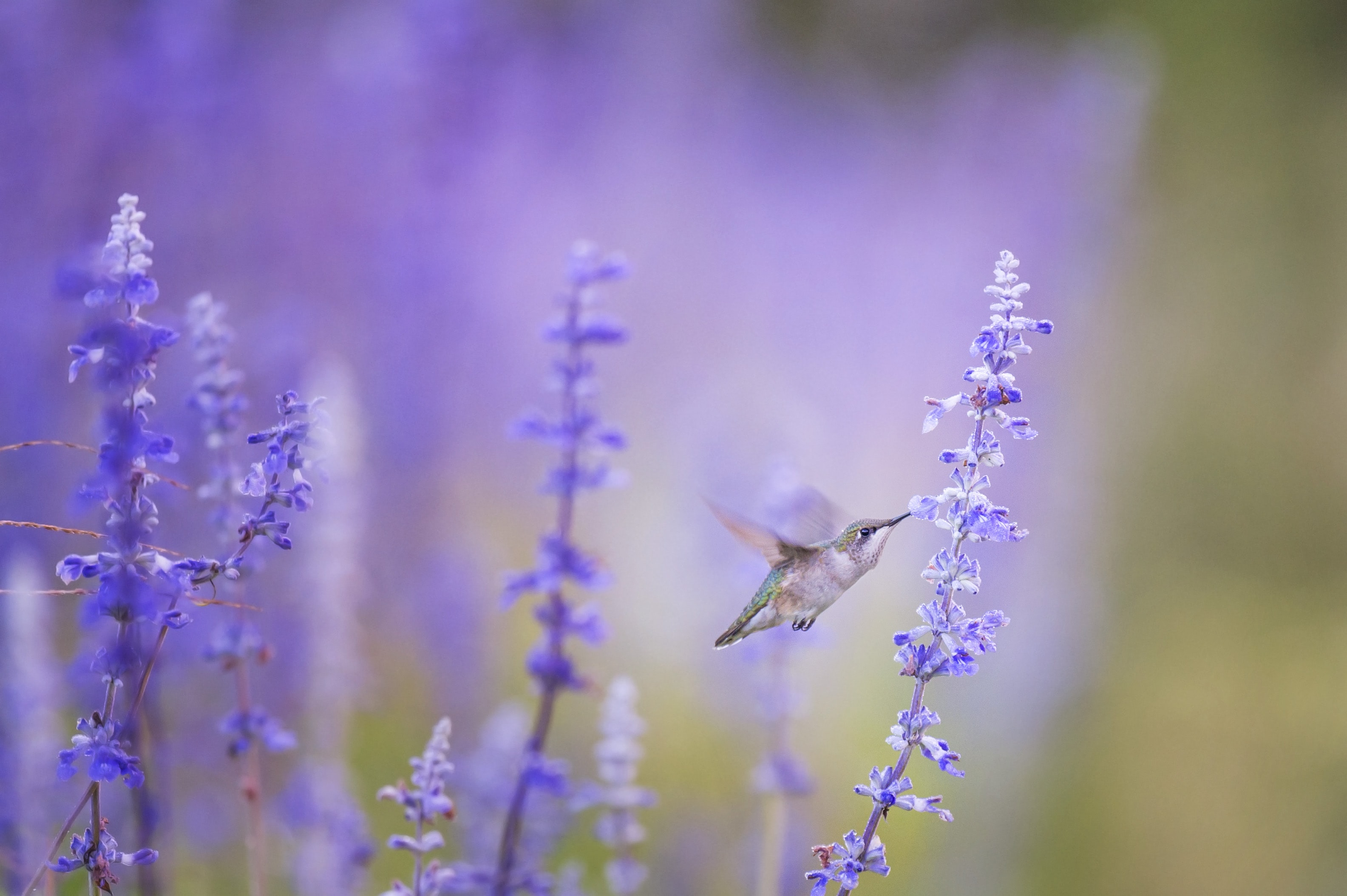 closeup photo of bird beside purple petal flowers