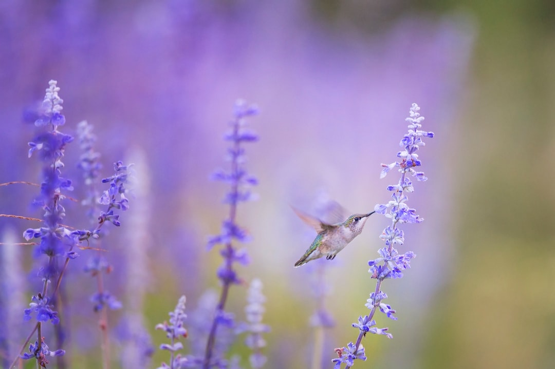 Hummingbird and fragrant lavender