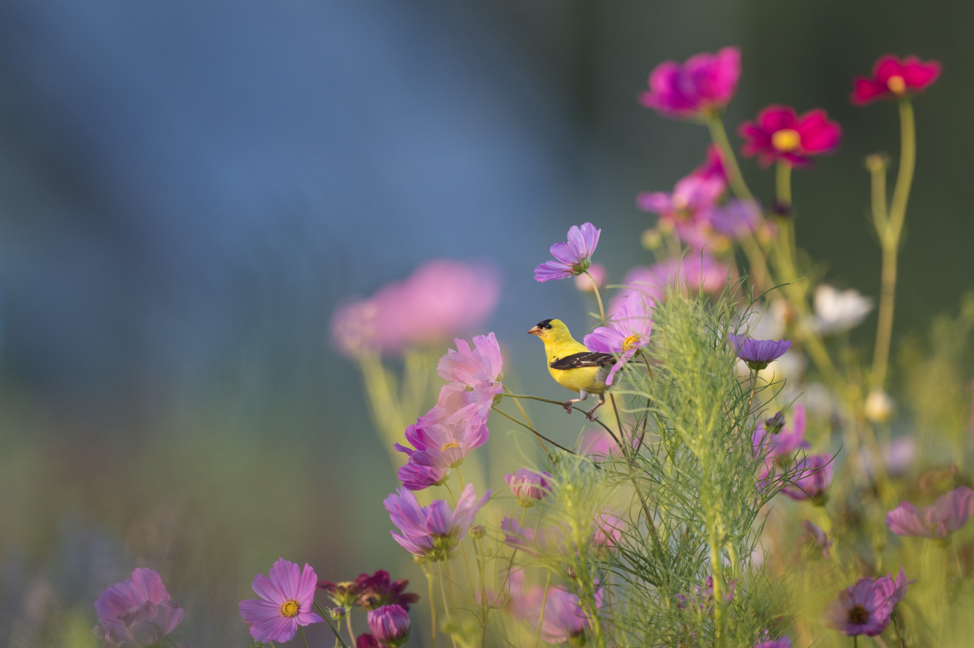 A small yellow bird perched on a stem of a pink flower