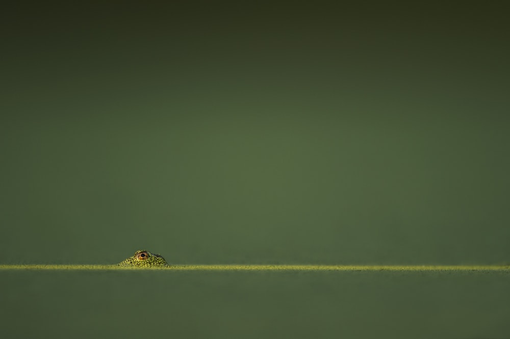 green amphibian in green water