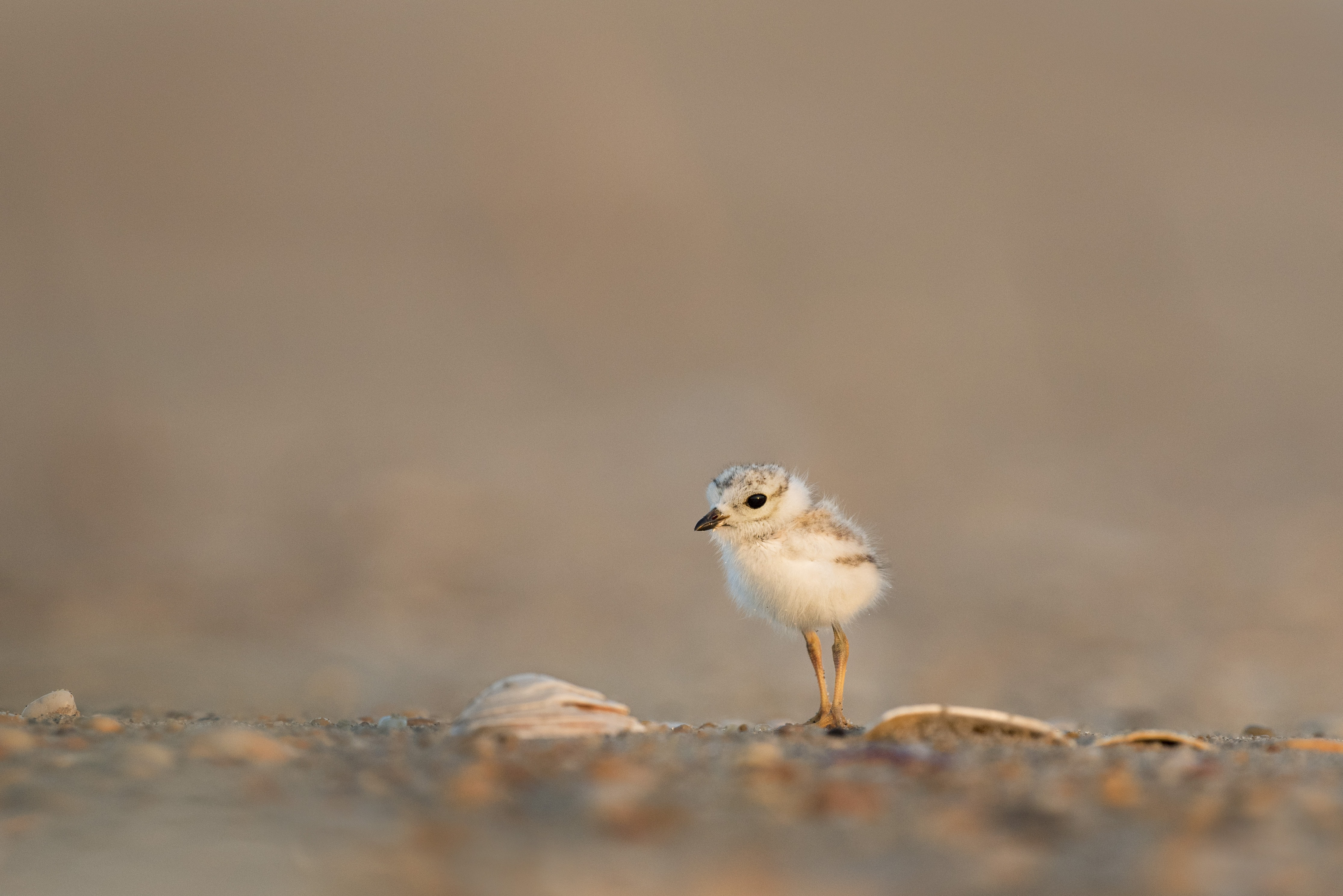 focus photography of chick on gray ground
