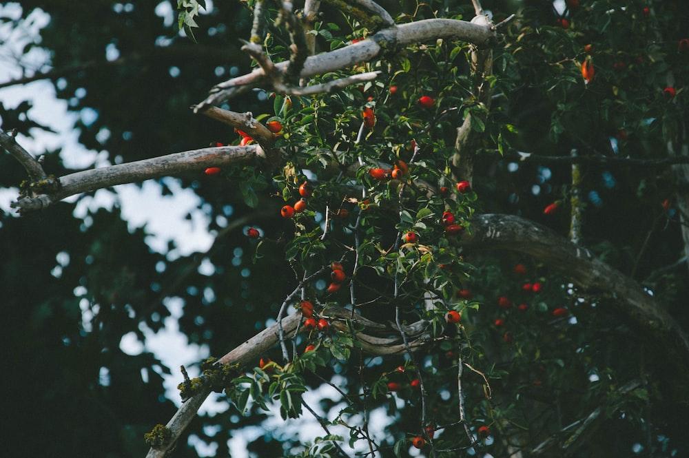 red fruit on tree during daytime