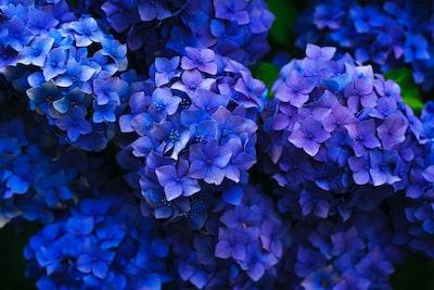 Deep blue hydrangea