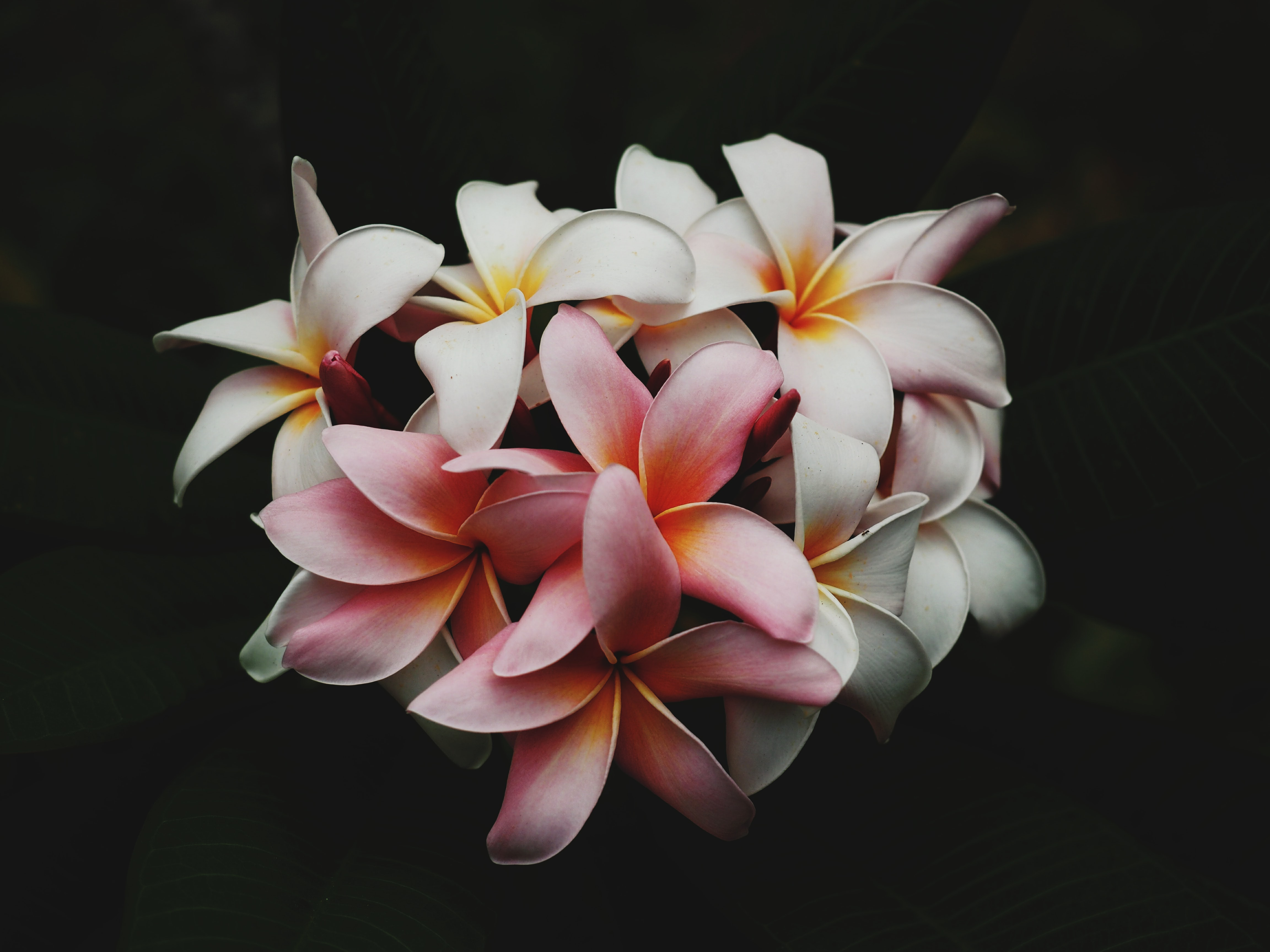 Close-up of a cluster of white and pink plumeria flowers
