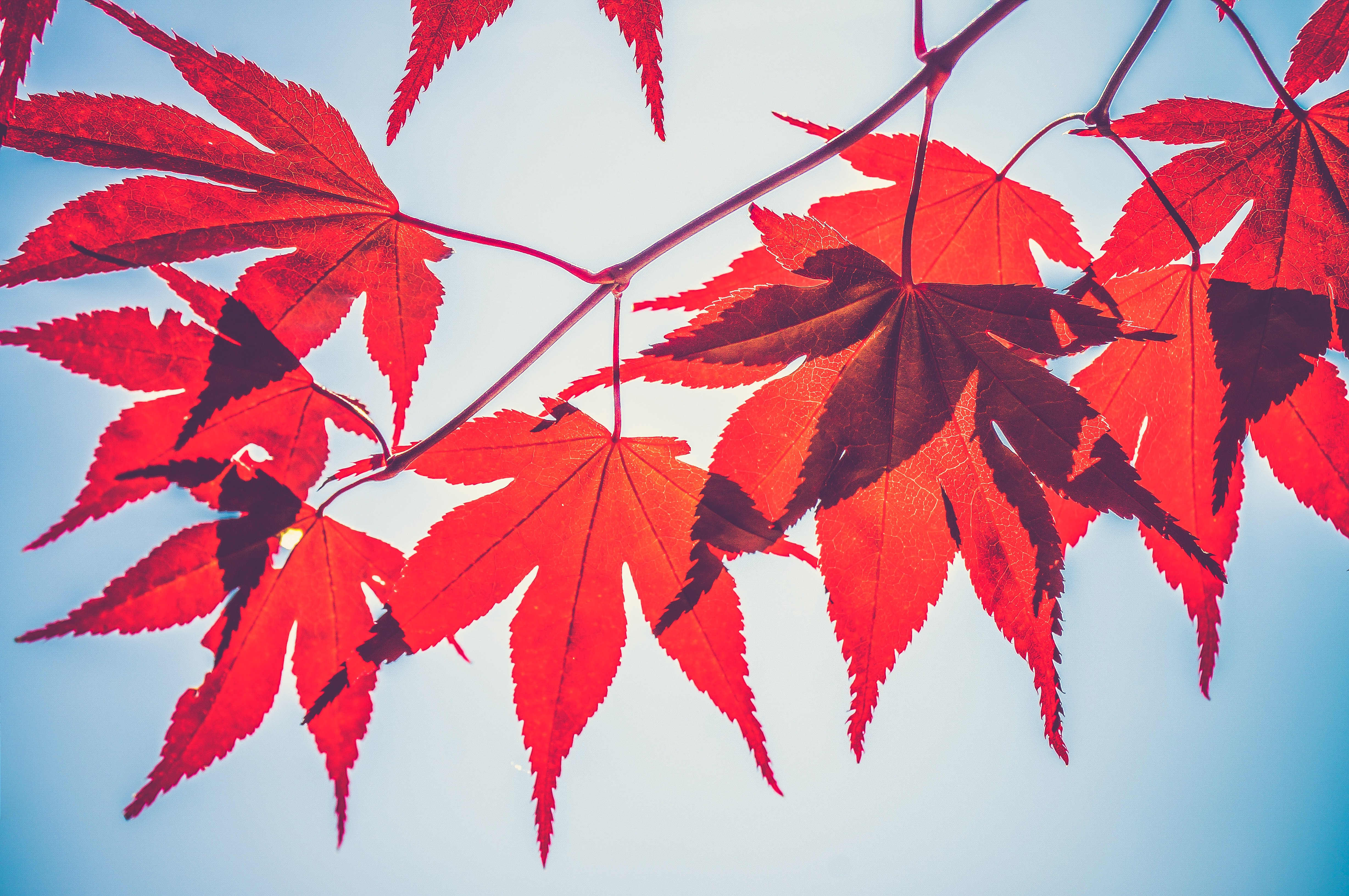 selective focus photography of red maple leaves