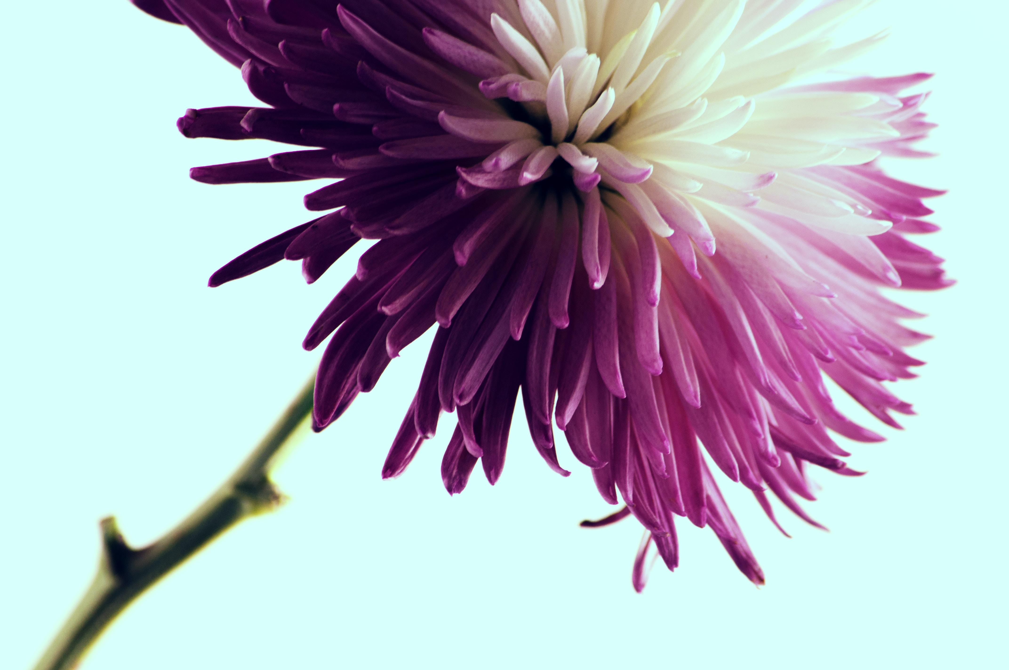 A macro shot of a purple dahlia flower with numerous long petals