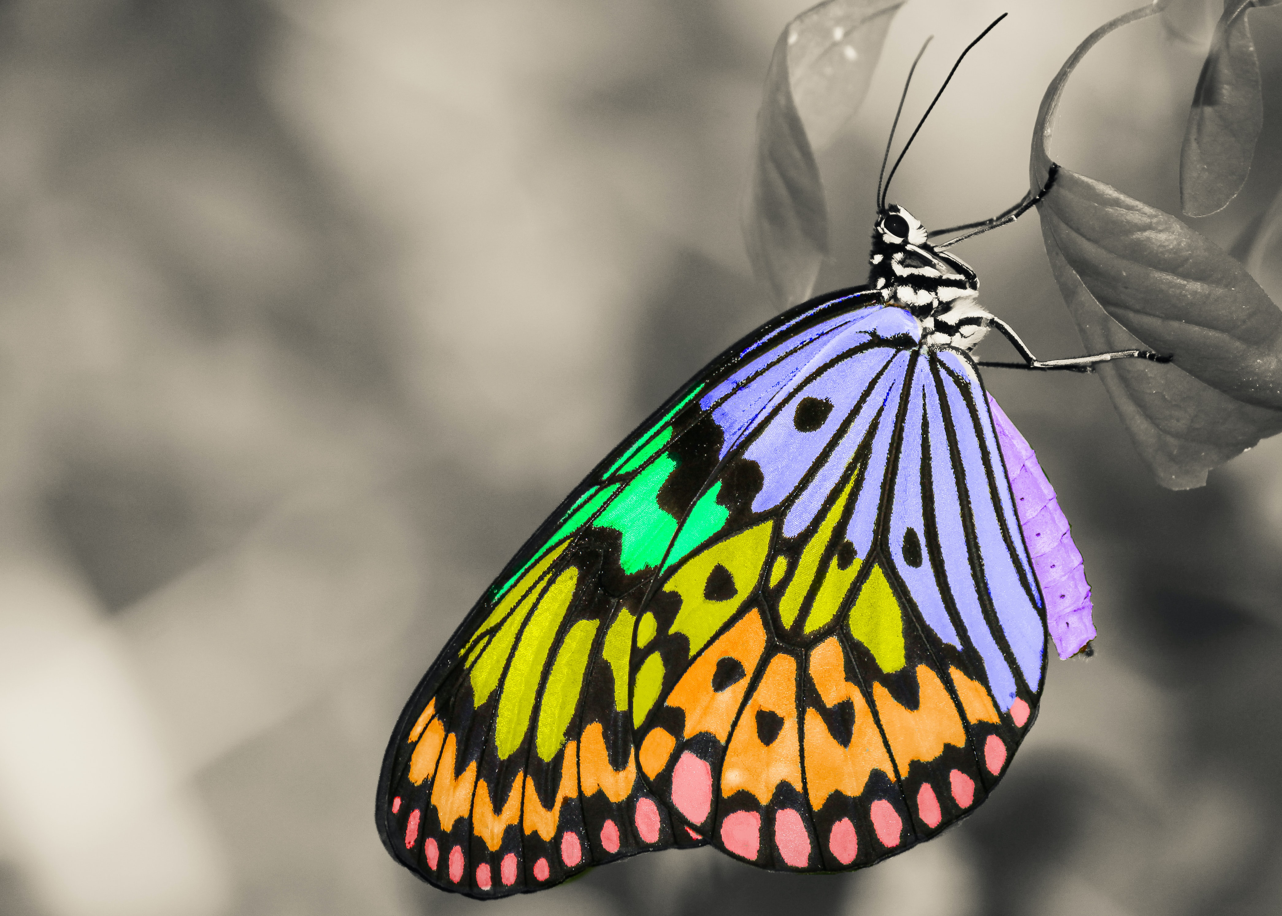 A colorful butterfly on a leaf, with a gray blurred background.