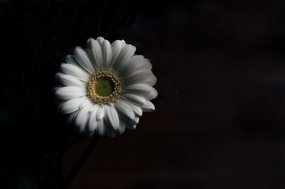 Gerbera daisy pictures download free images on unsplash a white gerbera flower against a black background mightylinksfo