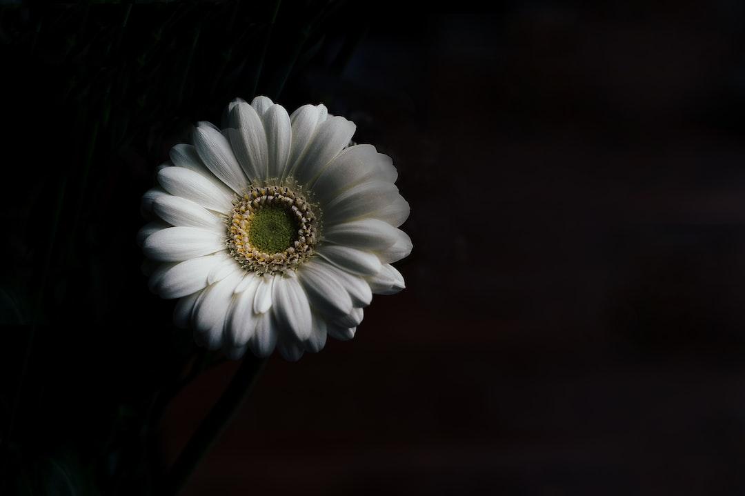 White gerbera on black
