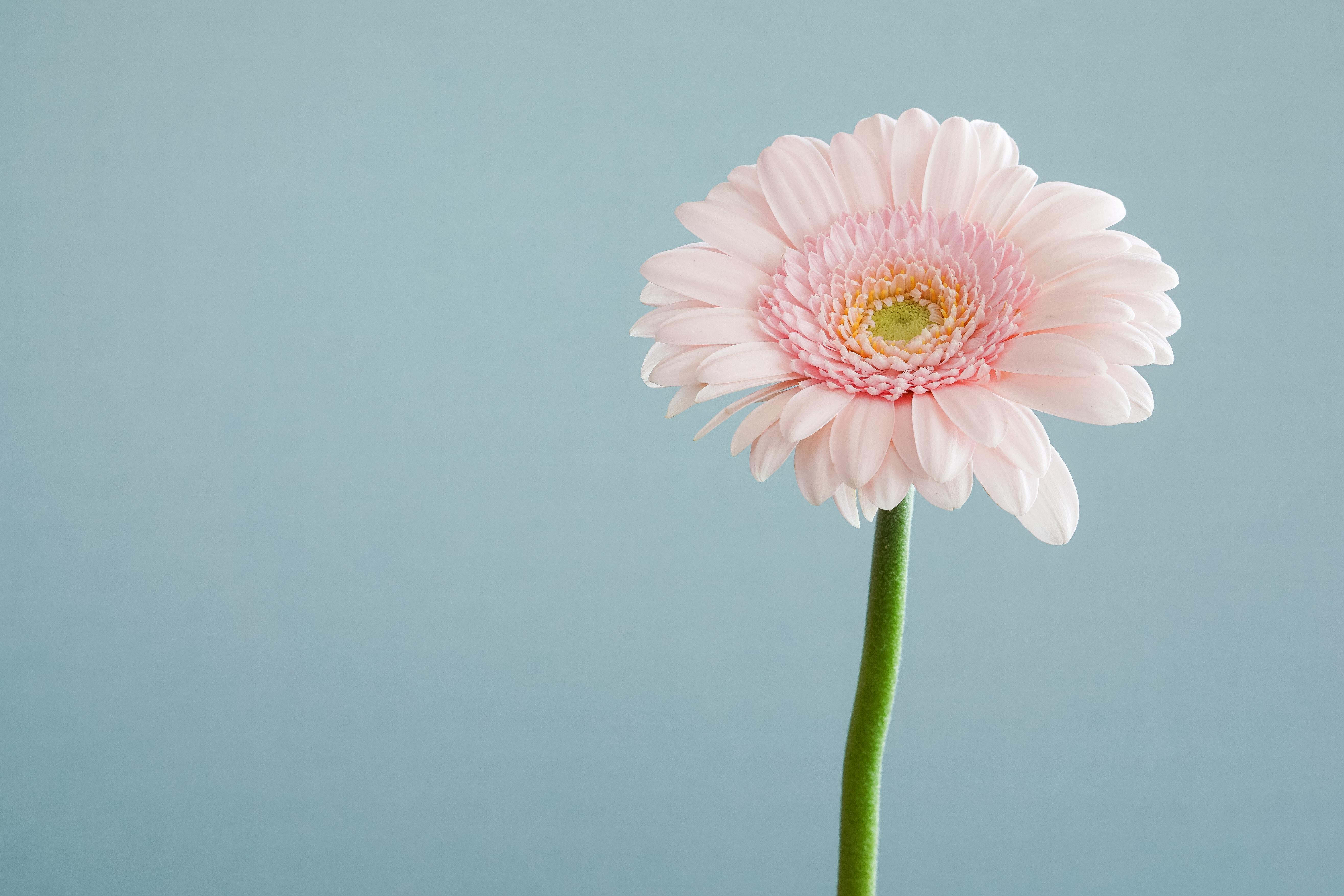 Close-up of a pastel pink gerbera flower