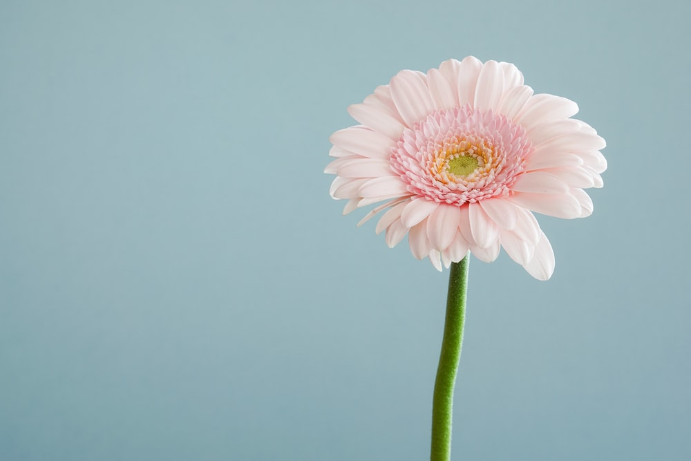 Pink flower pictures download free images on unsplash close up of a pastel pink gerbera flower mightylinksfo