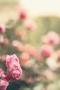 Springtime  rose stories