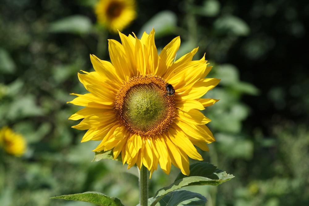 tilt shift lens photography of sunflower