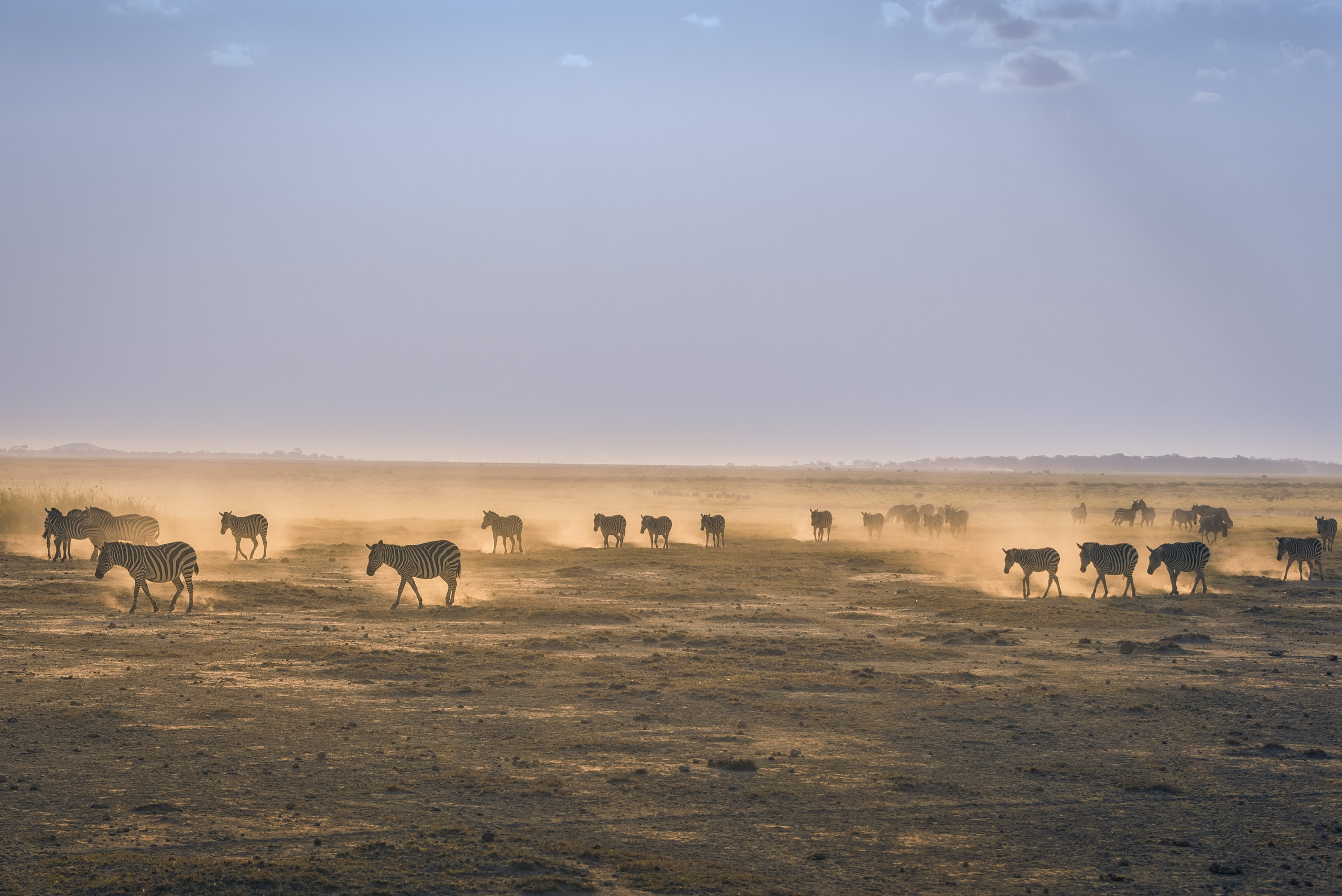 Zebras walk through the desert sands of Amboseli National Park