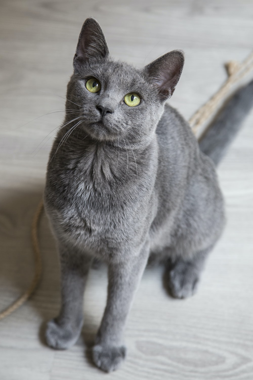 russian blue cat on white floor